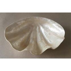 Flat Capiz blessed shape 15cm by 3