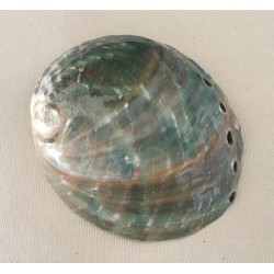 Abalone Assimilis 7.5cm by 6