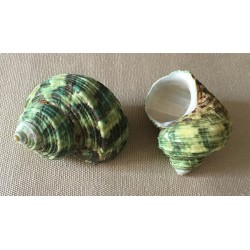 Turbo Natural Green 5/5.5cm by 50