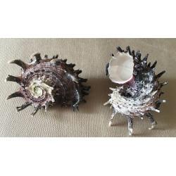 Angaria Imperialis 6/8cm par 6