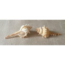 Murex Mindanaensis 7/8cm by 25