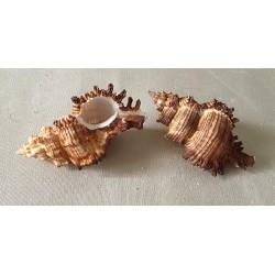 Murex Torrefactus 8/9cm by 12