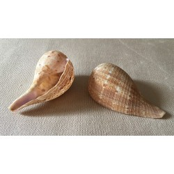 Ficus Fig Shell 6/7cm lot of 25
