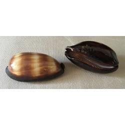 Cypraea Talpa 6/7cm by 12