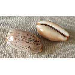 Cypraea Isabella 2/3cm par 12