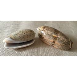 Oliva Miniacea 5/7cm by 10