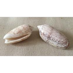 Oliva Reticularis 4/5cm by 6