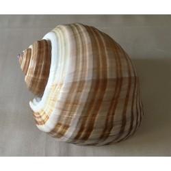 Tonna Cepa 22/24cm by 1