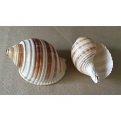 Tonna Sulcosa 5/8cm par 12
