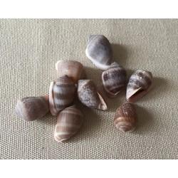 Cassudua Nucleus 1.5/1.9cm by 6