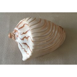 1285 CYMBIOLA NOBILIS CARVED WITH SAIL 12/14cm per 6
