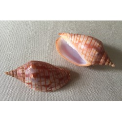 Volute arausiaca 6.5/7.5cm lot of 1