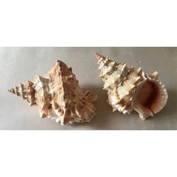 Bursa Lissotoma 14/15cm par 6