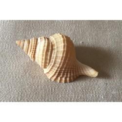 Distorsio Reticulata 6.5/7cm par 6