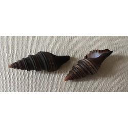 Turris Polytropa 4/5cm by 12