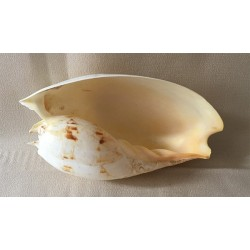 Melo Amphora 18/21cm lot of 1