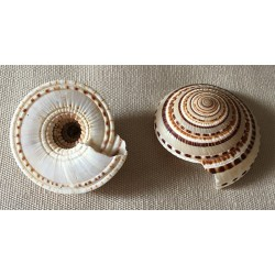 Architectonica Perspectiva 4/5cm lot of 20