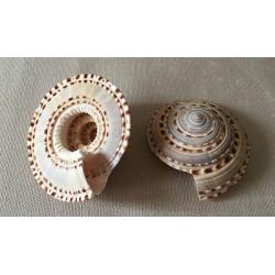 0633A ARCHITECTONICA MAXIMA 6/7cm per 6