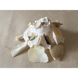 Xenophora Pallidula 5/7cm lot de 3