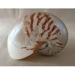 Nautile Naturel 12.5cm Gravé Hippocampe lot de 1