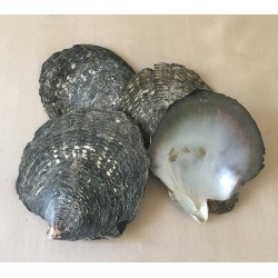 Huître perlière brute 12/15cm