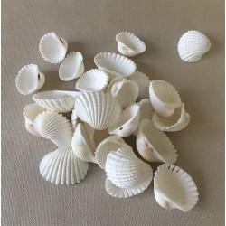 Cardium White 1/2cm 2kg lot