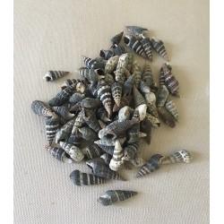 Batilaria Zonalis 1/1.5cm lot de 2kg