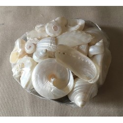 Pearly shells in placuna 10cm lot of 6