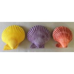 Pecten Nobilis couleurs naturelles 3.5/4cm par 25