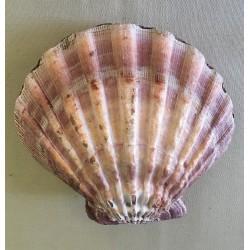 Pecten Subnodosus Violet pair 11/13cm by 3