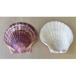 Valve Pecten Japonais Violet 8/9cm par 25