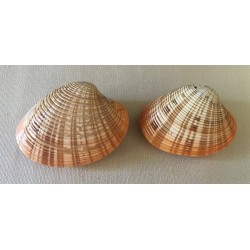 Callista Rosée 5/7cm par 6