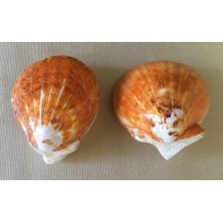 Spondyle Orange Polished 7/8cm by 12