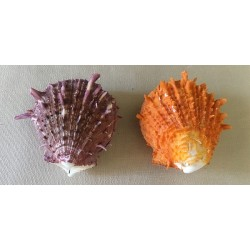 SPONDYLE ORANGE 5/7cm lot de 6