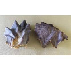 Lopha Crête de Coq simple 6/8cm par 12