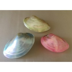 Clam Coloré CA 10/13cm lot de 12
