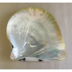 Oyster Polished Pearl 8/11cm by 12