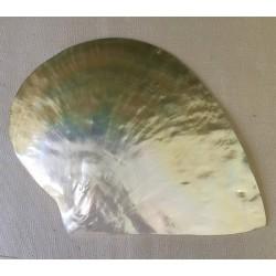 Huître Perlière polie MOP 18cm par 1