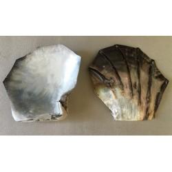 Huître Perlière Sculptée polie 11/13cm par 6
