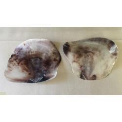 Saddle Shell (PLACUNA) 10/16cm par 12