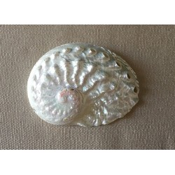 Abalone Ovina Nacrée 6cm lot of 50