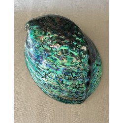 Abalone pawa polished 12/13cm by 3