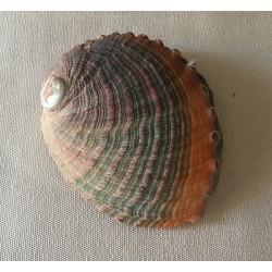 Abalone Assillinia 8/10cm par 3