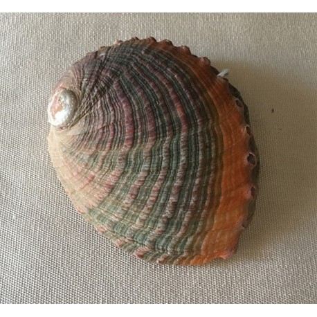 Abalone Assillinia 8/10cm by 3
