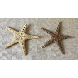 Sea star stained wine binds 5/8cm