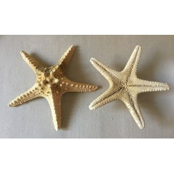 Sea Star Longspine 14/18cm lot of 25