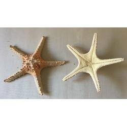 0827 STAR FISH ASSORTMENT BIG SIZE 25cm per 25