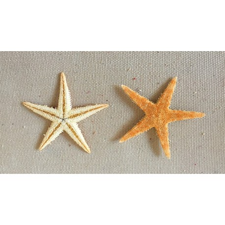 Star of Sea Plate 4/6cm lot of 1000
