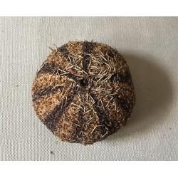 Oursin Gratilla 5/7cm lot de 3