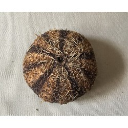 Gratilla sea urchin 5/7cm lot of 3